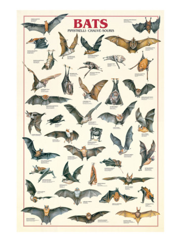 Craft Ideas Bats on Bats Posters I8065545  Htm You Can Buy The Bats Poster At This Site